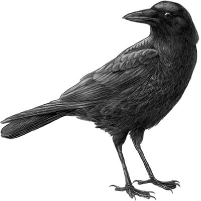 Crows: A Talk by Rob Butler at West End Community Center Vancouver